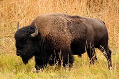 American Bison (Bison bison) (Jeffrey Jang Photography) Tags: americanbison bisonbison yellowstonenationalpark wyoming unitedstatesofamerica animal us mammal nature naturephotography nikon northamerica ungulate wildlife wildlifephotography jeff jeffrey jang jeffreyjangphotography m177862016