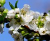 Empieza a florecer mi Ciruelo... (ameliapardo) Tags: ciruelo flores macro macrodeflores floresyplantas naturaleza airelibre sevilla andalucia españa fujixt1