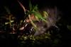 Black caiman dashes away as we approach (Scott Ableman) Tags: amazon delfinrivercruises blackcaiman lindbladexpeditions cayman caymans caiman delfinii delfinamazoncruises delfinamazonrivercruises
