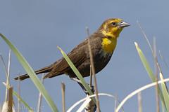 Yellow-headed Blackbird ♀ (danielusescanon) Tags: female yellowheadedblackbird xanthocephalusxanthocephalus passeriformes icteridae birdperfect perched saskatchewan canada