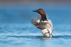 Canvasback (nikunj.m.patel) Tags: waterfowl canvasback duck nature wild outdoors migration chesapeakebay maryland