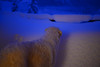 Holy cow! (balu51) Tags: winter wintermorgen blauestunde schneefall schnee balkon hund kuvasz ungarischerhirtenhund wintermorning bluehour snow dog mountains switzerland grisons graubünden surselva januar 2018 copyrightbybalu51