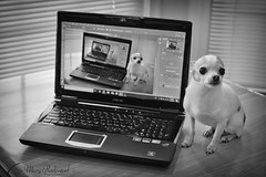 Infinate Pica.jpg (mraderstorf) Tags: tabletop blur keyboard 36523 chihuahua nikond700 canine 452 tiny niftyfifty depthoffield small 365 female fur 52weeksfordogs 365project pica infinite laptop dog bw 50mmf14 blackandwhite 52weeks4dogs project365