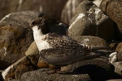 tara (Jerryhattric) Tags: boulderbay taylorsmistake bankspeninsula newzealand nz panasoniclumixdmcfz200 summer juvenilewhitefrontedtern tara nznativebirds