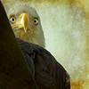 eagle eye (1crzqbn) Tags: 1crzqbn eagle bird