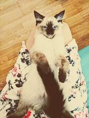 ❤️ O s c a r ❤️ (andreea_mihailiuc) Tags: cat kitten tom animal blueeyes tail handsomecat ragdollkitten indoor love google pixel andreeamihailiuc flickr focus friday mustache browncolor