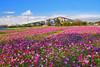 Cosmos flower field (Jennifer 真泥佛) Tags: 三義火焰山 波斯菊 cosmos