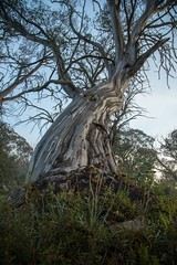 King of King Billy (bendrouyn) Tags: forest kingbillytk snowgum