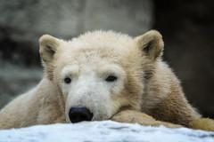 "Eisbärin ""Quintana"" (Jutta Achrainer) Tags: eisbär fe24–240mmf35–63oss raubtiere sonyalpha7riii säugetiere tierwelt quintana hellabrunn tierpark zoo münchen achrainerjutta"