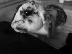 IMG_4208sv (grindove) Tags: djur kanin