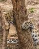 Can you see me? (catoledo) Tags: 2016 afzcc philadelphiazoomarch racc amurtiger cheetah flamingo mammals photoshoot tiger visit philadelphia pennsylvania unitedstates us