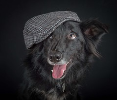 What's This (Chris Willis 10) Tags: dogsstudiohatscarf dog pets animal canine blackcolor cute purebreddog looking domesticanimals portrait puppy friendship studioshot blackbackground mammal closeup oneanimal dark brown animalhead dogs hat funny smile