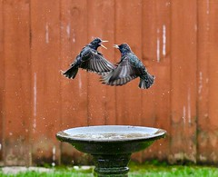 Squabbling Starlings - Taken this morning through my patio doors. (Ian J Hicks) Tags: