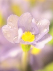 """""""...I send to you this primrose all bepearled with dew"""" (AMoska) Tags: natureza nature flora flores flowers primula primrose pãocomqueijo macro lensbaby soft floralfantasy mixofflowers exquisiteflowers"""