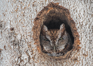 Petit-duc maculé/Eastern screech-Owl -10345
