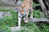 Ein Tiger im Kölner Zoo (marcoverch) Tags: wildlife tierwelt jungle dschungel zoo nature natur mammal säugetier tiger wild animal tier cat katze danger achtung big gros safari fur pelz predator raubtier hunter jäger carnivore fleischfresser hunt jagd stripe streifen wood holz aggressivedisposition walking studio airbus berlin airport macromondays candid auto temple fuji kölnerzoo