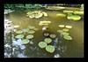 Duke Gardens July 2015 9.23.28 PM (LaPajamas) Tags: nc flora dukegardens gardens