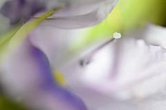 Follow The Dream (setoboonhong) Tags: nature flower water hyacinth petals pistil stigma abstract macro depth field blur bokeh the dream secret garden