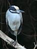 Yellow-crowned Night-Heron 04-20180119 (Kenneth Cole Schneider) Tags: florida miramar westmiramarwca