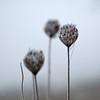 Frozen Art (uhu's pics) Tags: nature cold froid kalt gelé frozen gefroren brouillard plante rimer mist fog plant rime nebel pflanze frost raureif xp2 xpro2 xpro fujinon fuji fujifilm