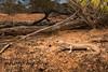 Desert skink (Liopholis inornata) (peter soltys) Tags: peter soltys photography wildlife adventure australia reptile evolution desert skink liopholis inornata lizard
