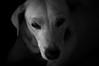 Kopi (Henry Sudarman) Tags: 5820ltm manuallens indonesia henrysudarman blackandwhite hitamputih pet petportait petportraiture shadow sidelight straydog dog dogsface face portrait portraiture ricoh ricohgxr gxr a12mmodule mmount helios44 helios44ltm
