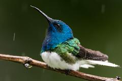A Jewel in the Rain (miTsu-llaneous) Tags: bird hummingbird whiteneckedjacobin florisugamellivora trinidad trinidadandtobago caribbean nature naturephotography wildlife wildlifephotography animal rain rainy weather