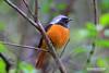 黃鴝美姿(Daurian Redstart黃尾鴝) (jeffrey.ko) Tags: grouptripod