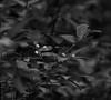 Animal Edibles (John Neziol) Tags: jrneziolphotography nikon nikondslr nikoncamera naturallight nikond80 nature outdoor odd brantford beautiful bokeh blackwhite monochrome closeup currants wildcurrants berries leaves leaf plant plants bush shrub