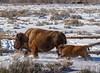 Mum and baby bison (scepdoll) Tags: bison grandtetonnationalpark highway89 winter yearling buffalo wyoming moran