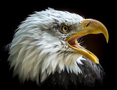 Orion the Bald Eagle (Haliaeetus leucocephalus) (Wade Tregaskis) Tags: haliaeetusleucocephalus baldeagle blackbackground calling dark dramatic headshot lowkey moody portrait screaming squawking