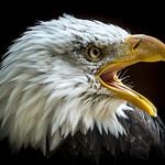 Orion the Bald Eagle (Haliaeetus leucocephalus) thumbnail