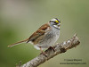 White-throated Sparrow (Laura-Meyers) Tags: bronx whitethroatedsparrow