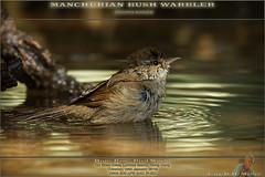 20180116-_5006657-WARBLER-ManchurianBush-1500 (guy.miller) Tags: bird lamma hk hong kong guy miller