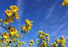 Choose to Shine (WinRuWorld) Tags: sunflower flower sky bright roadside botany plant yellow blue cirrus cloud wispy shine flora petals helianthus asteraceae nature naturephotography naturalworld canon canonphotography pa pennsylvania northamerica usa angiosperm outdoors