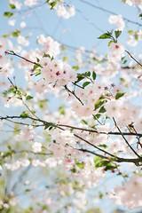 ... (.insideout) Tags: spring flowers nature tree sky sakura blossom garden