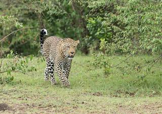Male Leopard -Panthera pardus Kaboso