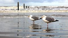 IMG_2165 (elisa_norderney) Tags: norderney möwe nordsee meer strand wasser