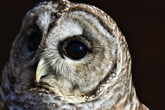 Barred Owl's Gaze (avinsh10) Tags: barred owl starved rock state park illinois 2018
