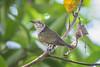 Little Bronze Cuckoo (BP Chua) Tags: bird nature wild wildlife animal cuckoo littlebronzecuckoo singapore botanic gardens tree smallbird nikon nikond750 600mm