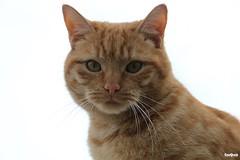Posing (JanJGorter) Tags: poes poezen katten cats spinnen furry