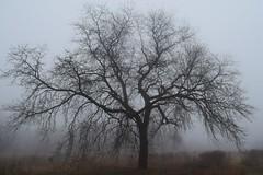 Oak in the fog (marensr) Tags: mist fog oak tree silhouette january montrose point bird sanctuary chicago sky field landscape