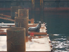 Sea lion in the work zone (WSDOT) Tags: environmental wsf ferries wildlife coleman colman dock seattle elliott bay waterfront mammals sealife