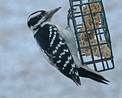 Hairy Woodpecker female_16Jan2018 (Bob Vuxinic) Tags: bird cumberlandplateau crossvilletn 16jan2018 hairywoodpecker picoidesvillosus female suetfeeder