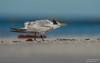 Royal tern (salmoteb@rogers.com) Tags: bird wild outdoor royal tern wildlife water florida usa