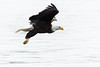 Strong Eagle (TroyMarcyPhotography.com) Tags: 20windchill action americanbaldeagle beautiful bird canon400mmf56l canon7d cloudy illinois iowa january mississippiriverbaldeagles2018 overcast cold nature wildlife
