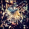 Winter flower. #collegepark #maryland #iPhone #commute #sidewalk #roadside #iPhonemacro #macro  #flower #flowersofinstagram (Kindle Girl) Tags: roadside collegepark maryland iphone commute sidewalk iphonemacro macro flower flowersofinstagram