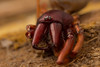 Dysdera Crocata (javajunkies126) Tags: spider dead scary nature 6d canon 100mm f28l llens l lens red hairy eyes legs yuck