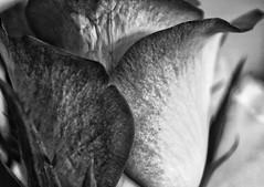 Macro on Monday! 😀👍😀 (LeanneHall3 :-)) Tags: blackandwhite rose rosepetal petals closeup closeupphotography macro macrophotography macroextensiontubes flower flowerarebeautiful flowersarefabulous flowerflowerflower canon 1300d