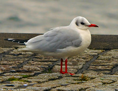 Scotland Greenock the ship repair dock Fred the dock seagull 9 January 2018 by Anne MacKay (Anne MacKay images of interest & wonder) Tags: scotland greenock dock fred seagull xs1 9 january 2018 picture by anne mackay